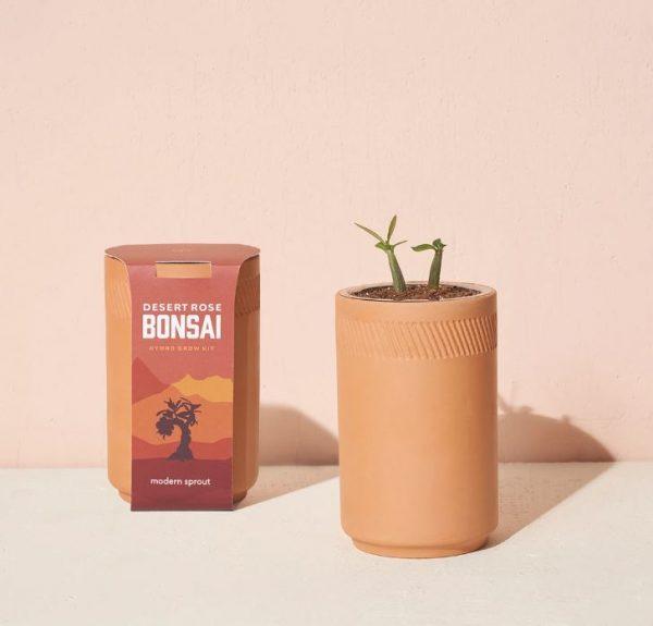 [Modern Sprout] Kit Terre Cuite Rose Du Désert Bonzai